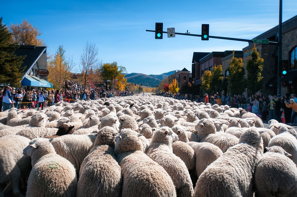 2013+PARADE+SHEEP.jpg