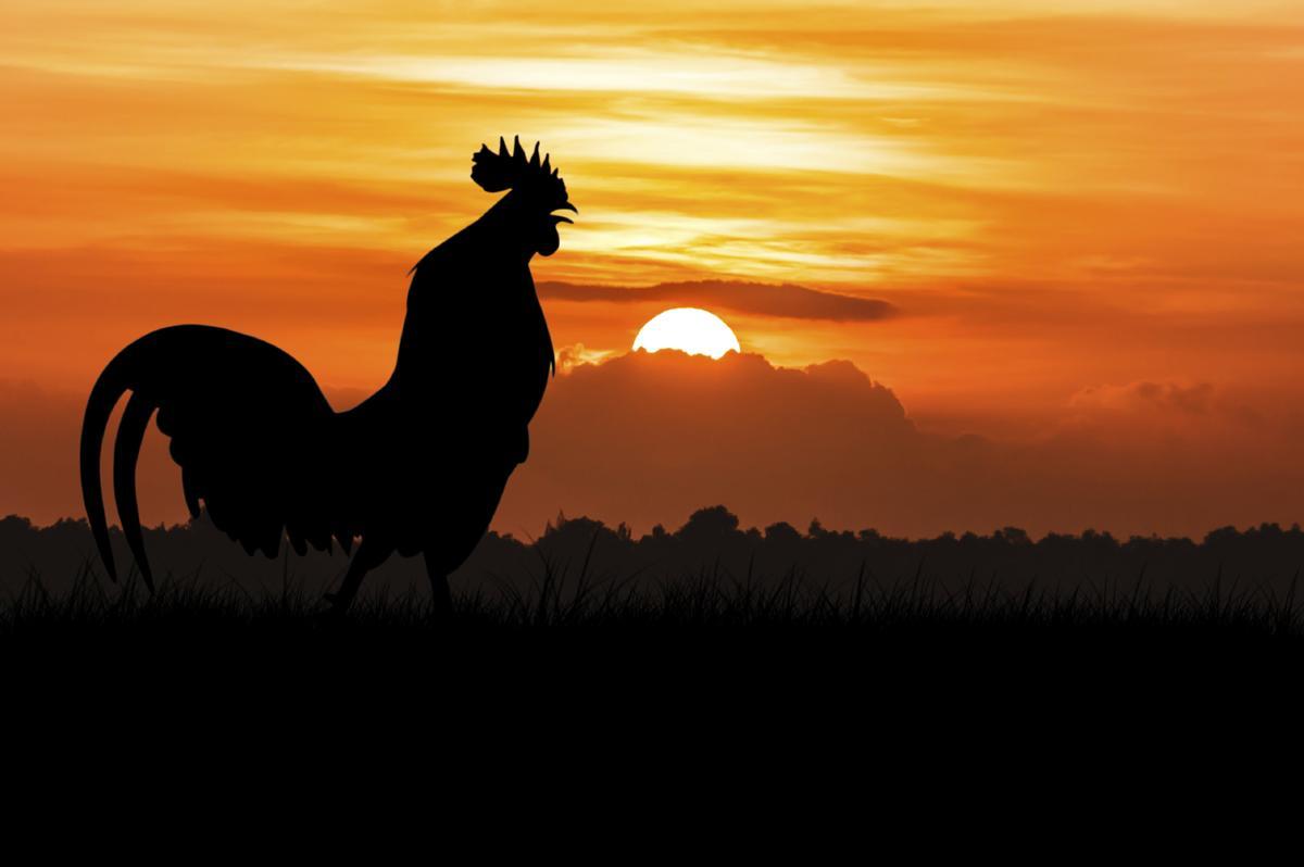 rooster-crowing.jpg