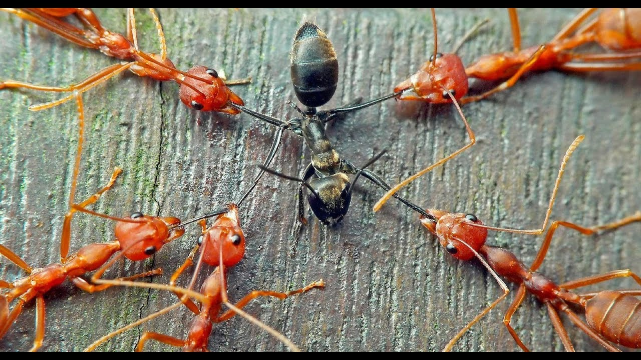 Red Ants vs Black Ants Fight || Battle of the Ants - YouTube